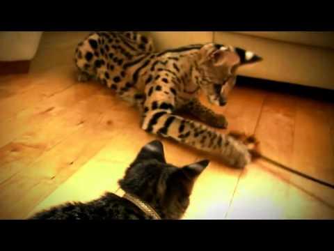 Кошка Саванна Самая крупная домашняя порода