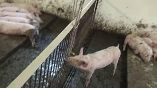 видео: БЫСТРАЯ УБОРКА НАВОЗА часть3. Новое новозоудаление  свинарников. Технология узких каналов.