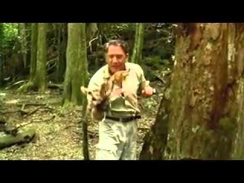 Coconut crab Christmas Island - YouTube