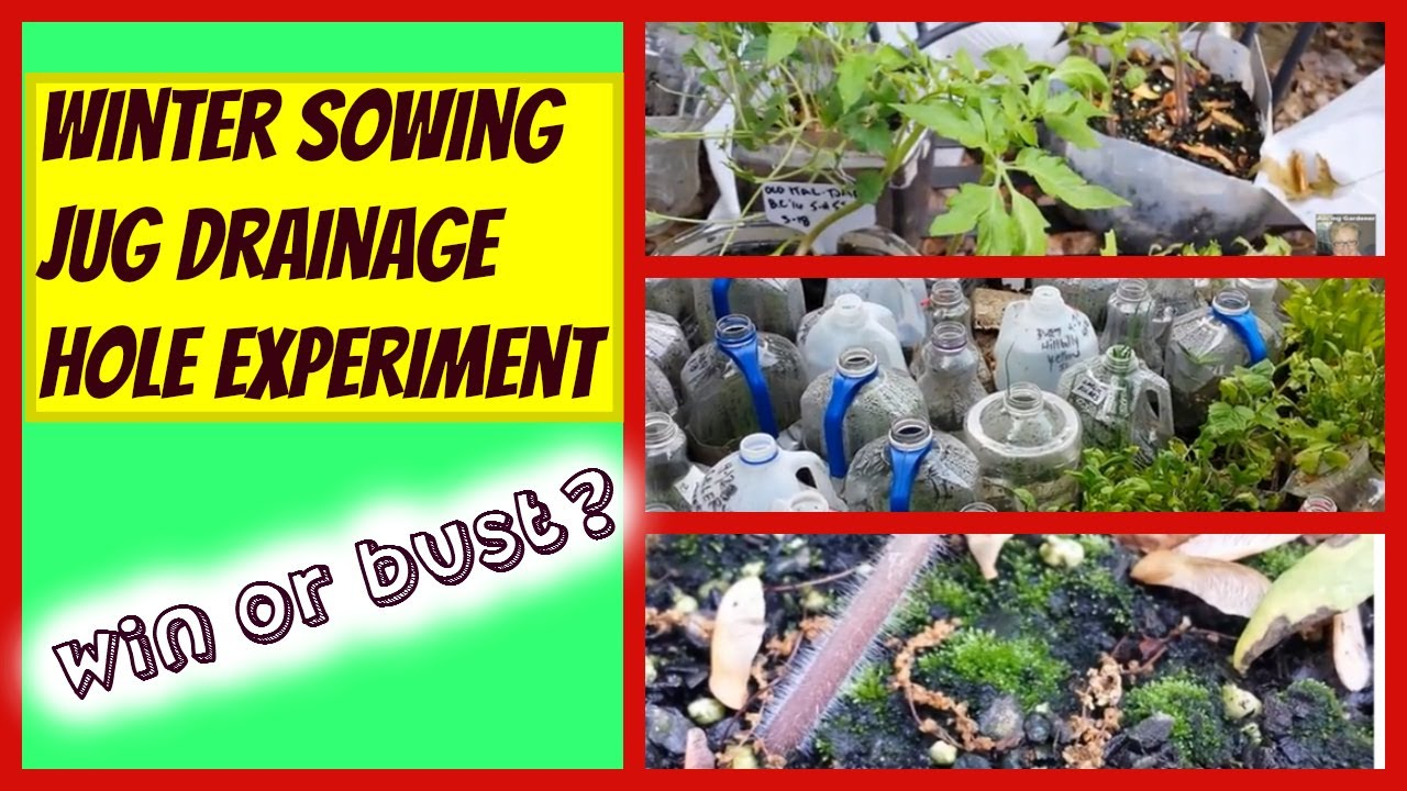Winter Sowing Jug Drainage Hole Experiment Growing Super Vegetables In Milk Jugs