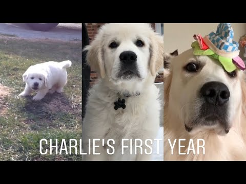 The first year with my Golden Retriever