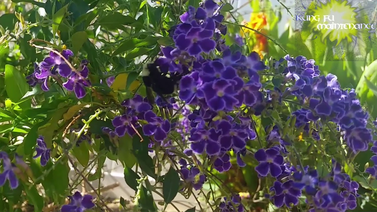 Big Fuzzy Black And Yellow Carpenter Bee Enjoys Duranta Flowers In