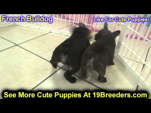 French Bulldog, Puppies, For, Sale, In, Oklahoma City, Oklahoma, OK, Warr Acres, Guthrie, Weatherfor