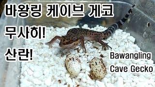바왕링 케이브 게코Goniurosaurus bawang…