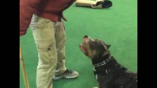 American Bully learning the command guard
