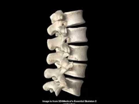 Anatomía del esqueleto del tronco en 3d - YouTube