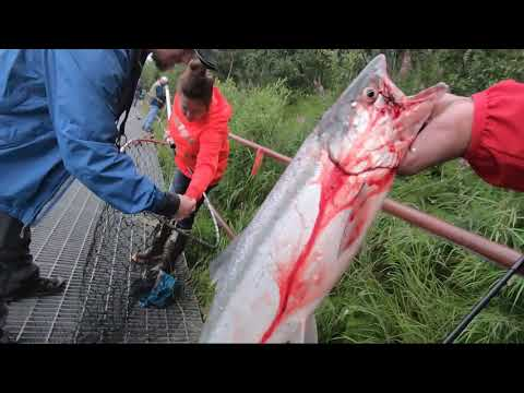Salmon Fishing On The Kenai River At Swiftwater Campground In Soldotna