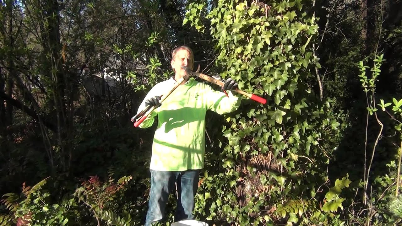 Remove And Kill English Ivy On Trees