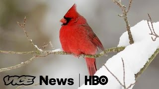Bird Clockers  VICE News Tonight on HBO (Full Segment)