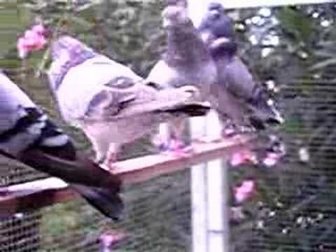 Bowden Flying Tippler