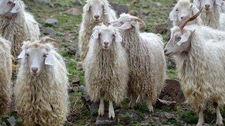 Таджикские шерстные козы, ангорского типа.  Агроэкспедиция по Таджикистану