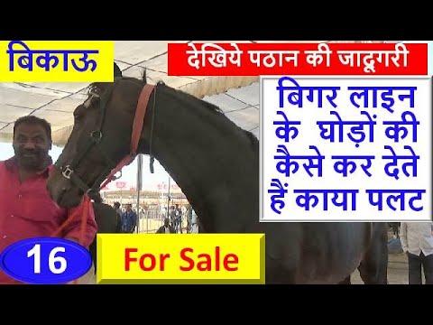 Indian Marwari Horse For Sale : Sarangkheda Horse Market 2018 सारंगखेडा घोड़ा बाज़ार