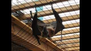 The Biggest Bat in the World - Flying Fox