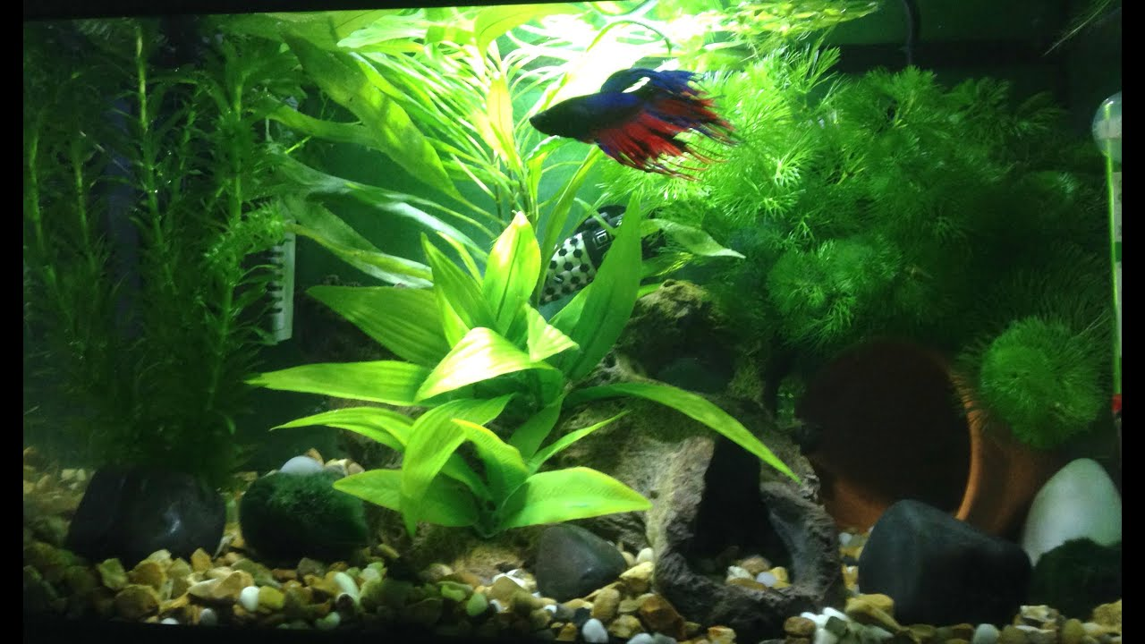 Aquarium fish 5 gallon tank - 5 Gallon Betta Fish Tank Update Planted Aquarium Crowntail Betta