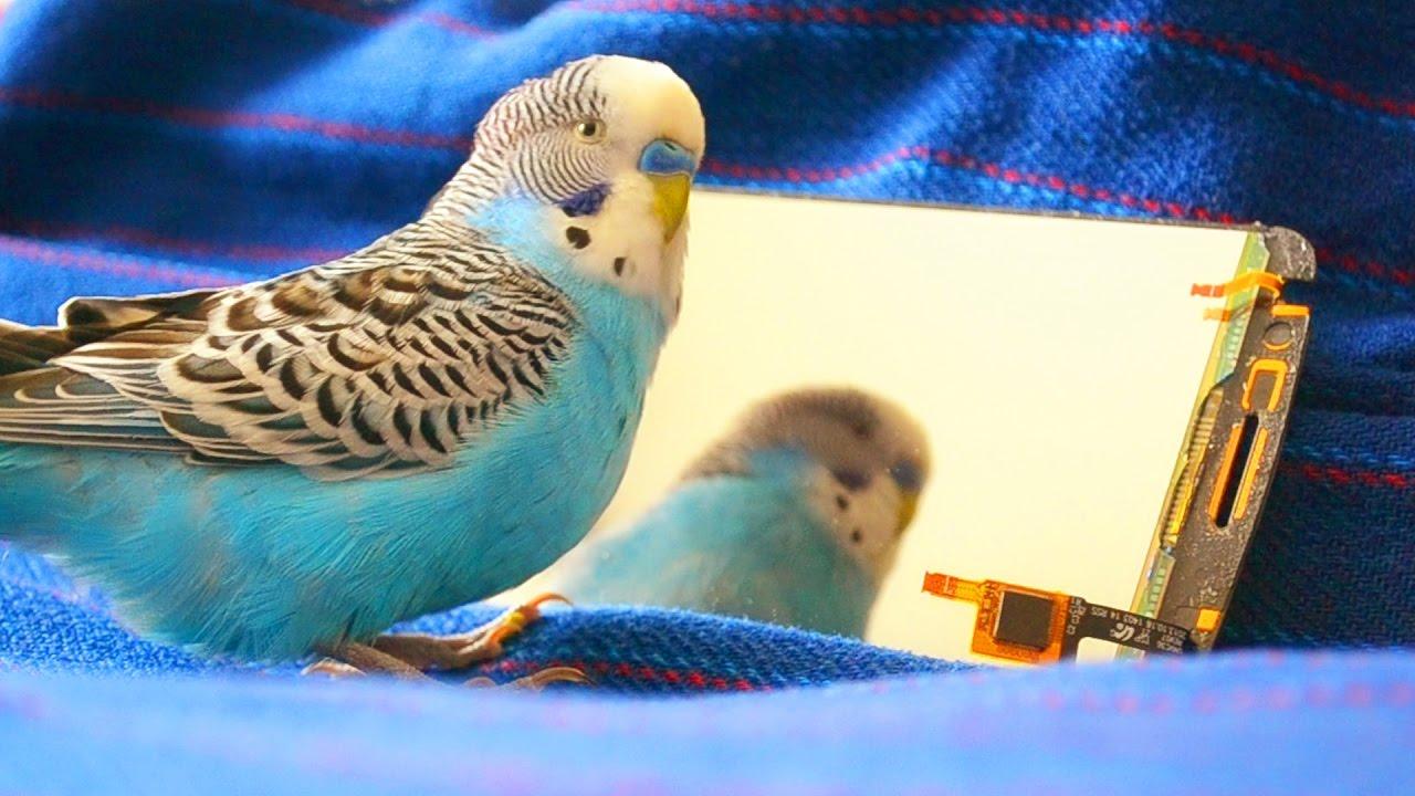 Budgie Sounds   Parakeet Sounds