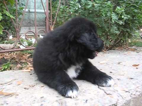 Romanian Raven Shepherd Dog Haiduc Ciobanesc Corb Youtube