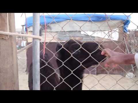 Camel Farm qatar