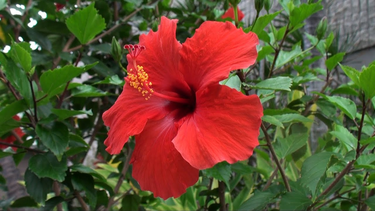 hawaiian flowers, Beautiful flower