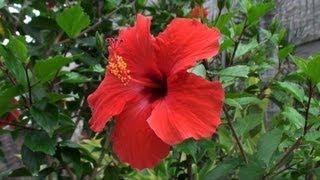 USA, Hawaiian flowers