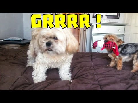 Daddy Playing with Toy Yorkshire Terrier and Lhasa Apso Dogs Barking Smartest Dog In the World