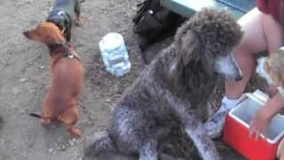 Fail: Dachshund Tries To Hump Dog 10x Its Size