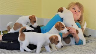 Щенки Джек рассел терьера от рождения до двух месяцев. Ребенок и щенки Puppies jack russell terrier