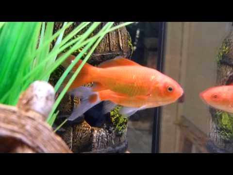 Goldfish Comet -  How To Treat Cloudy Eye? (25.11.2012) Melafix