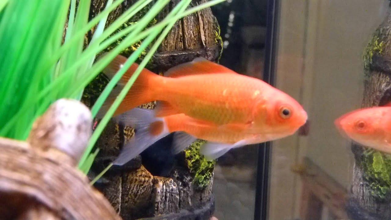 Goldfish et How To Treat Cloudy Eye 25 11 2012 Melafix
