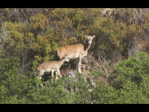 Ovis orientalis (Cyprian Wild Sheep, Cyprus Mouflon) Αγρινό