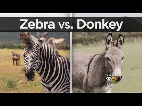 Zoo Accused Of Painting Donkeys To Look Like Zebras