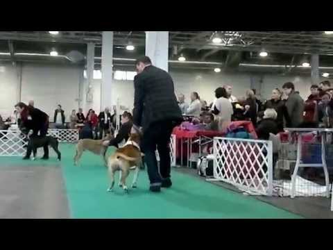 FeHoVa Winter Dog Show 13.02.2015 American Staffordshire Terrier open males (AMSTAFF)