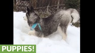 Husky super excited to roll around in snow