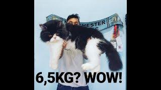 Cara Gemukin Kucing Persia dengan Cepat dan Biaya Murah #catlovers