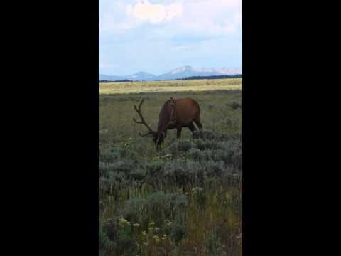 Yellowstone elk close up