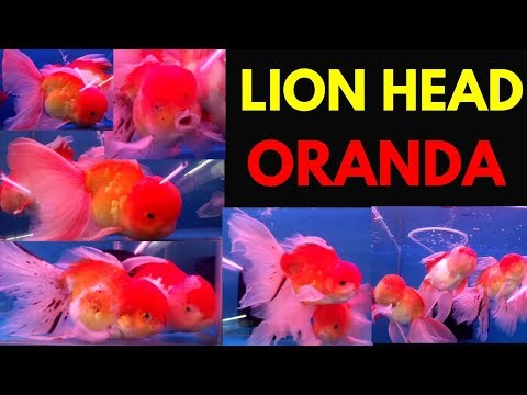 Lion Head Oranda Gold Fish Kurla Fish Market