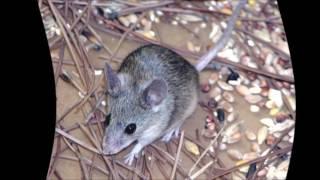 Звук мыши