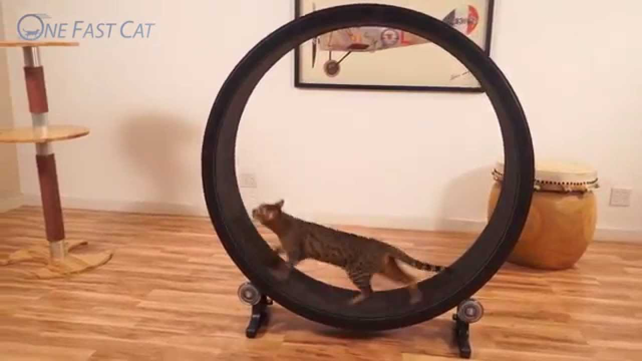 Cat Exercise Wheel >> One Fast Cat Exercise Wheel, with Customer Videos - YouTube