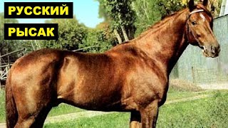 Русские рысаки особенности породы   Коневодство   Порода лошадей Русский рысак