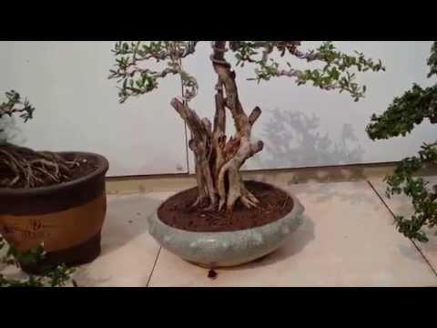 Vườn Bonsai mini đẹp cập nhật nhiều cây mới