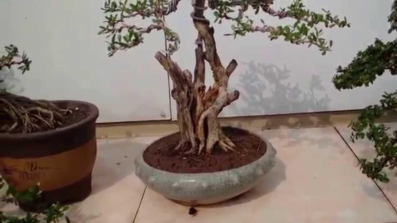 Vườn Bonsai Mini đẹp Cập Nhật Nhiều Cay Mới