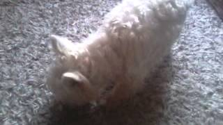 Dźwięk Jak Pies Je Jabłko