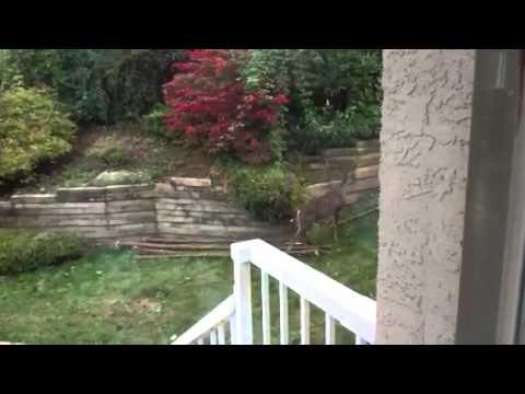Deer in my backyard - By Dallas Raynes