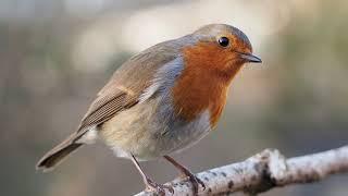 Голоса птиц. Зарянка (малиновка)_Erithacus rubecula