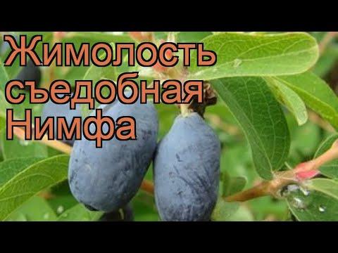 Жимолость съедобная Нимфа (lonicera edulis nimfa) 🌿 Нимфа обзор: как сажать, саженцы жимолости Нимфа