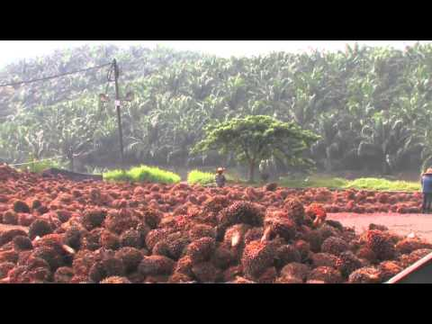 Palm Oil: Nature's Blessing or Nature's Curse? Part 4