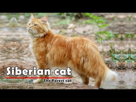 Siberian Cat - The Siberian Forest Cat
