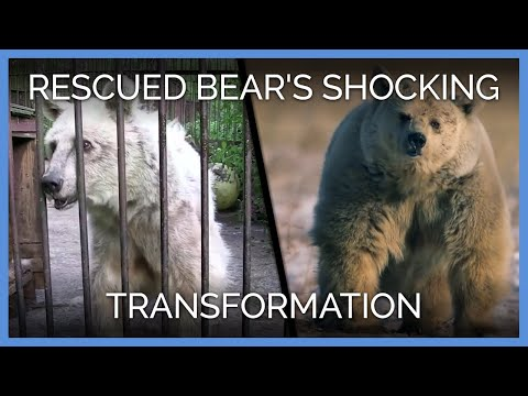 Rescued Bear's Shocking Transformation