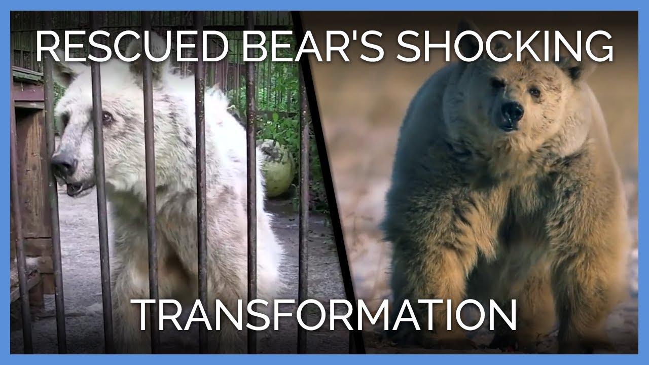 Rescued Bear S Shocking Transformation Peta Animal
