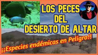 Los peces del Desierto de Altar
