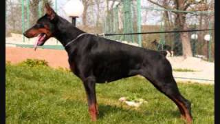 Zuri Di Omega (de Britton) 100% European Bloodlines 4 Months Old Doberman